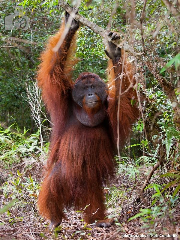 IMG_4955_orangutan_samec