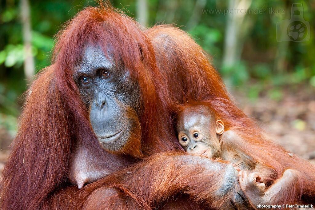 IMG_4975_orangutani_matka_s_mladetem