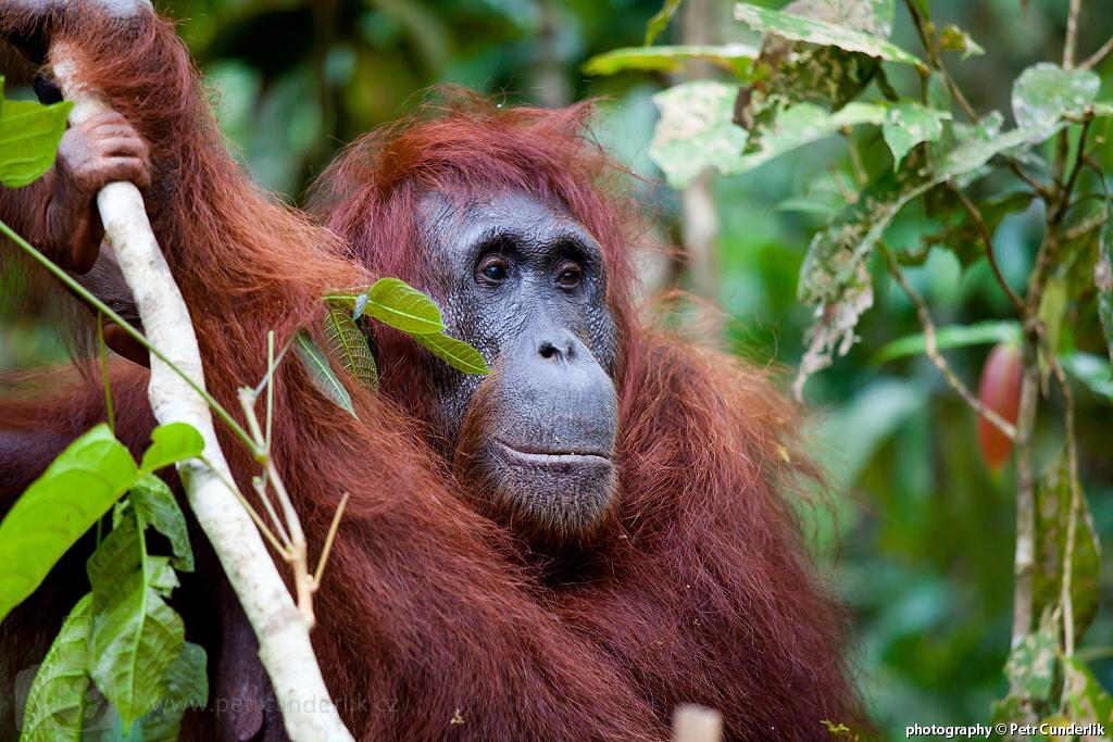 IMG_5032_orangutan_samice