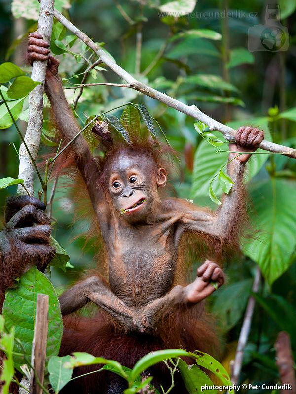 IMG_5044_orangutan_mlade_ksichtik