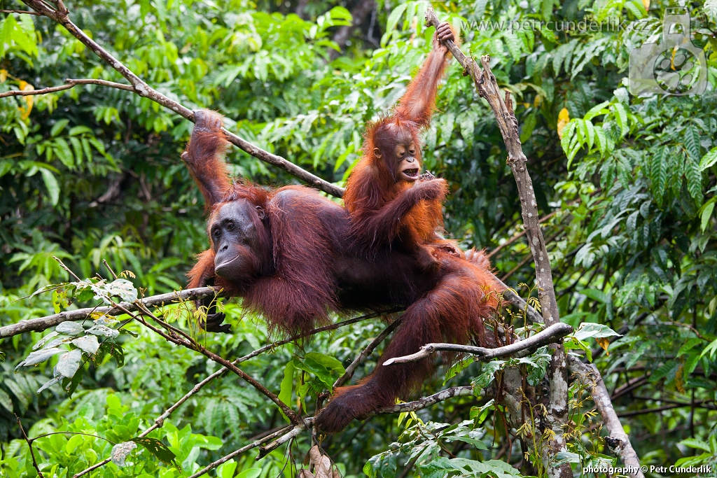 IMG_5078_orangutani_na_strome