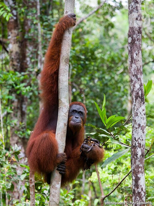 IMG_5152_orangutan_na_strome