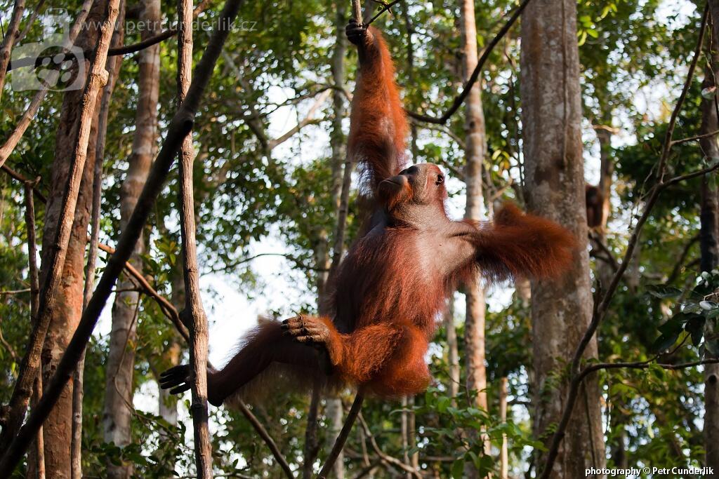 IMG_5173_orangutan_na_strome