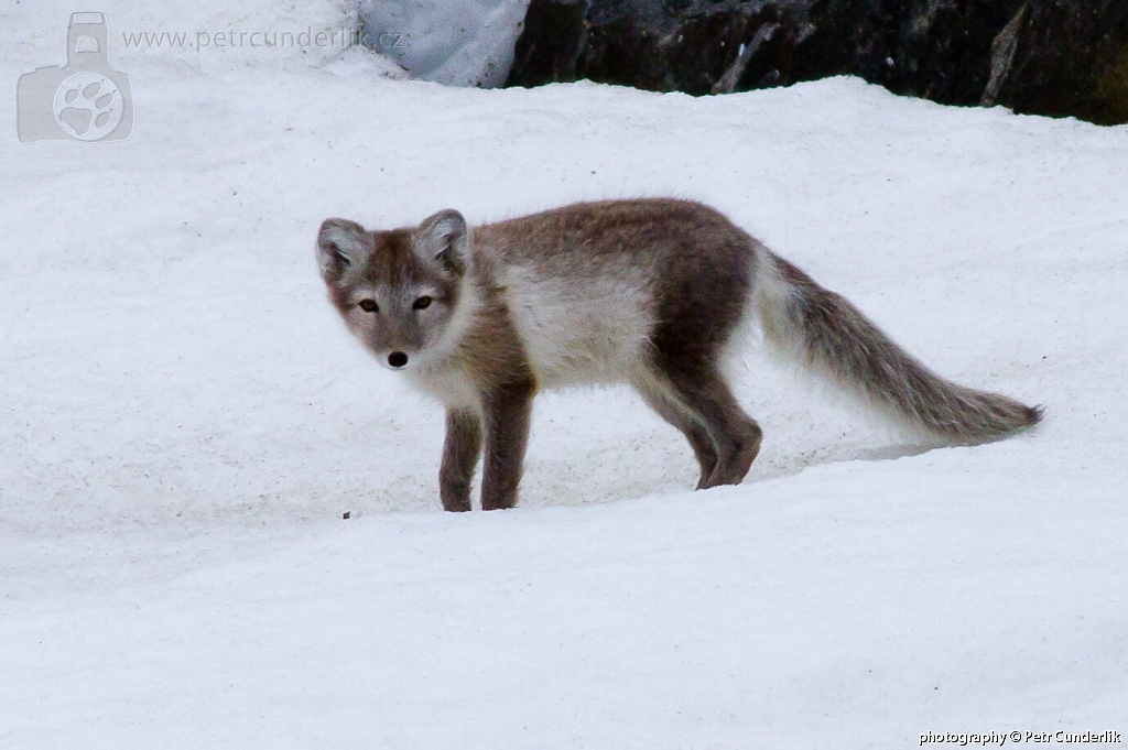 Polární liška v letním šatu 9a4121dd38