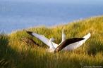 image 36_tyden_img_9483_albatros_wandering-jpg